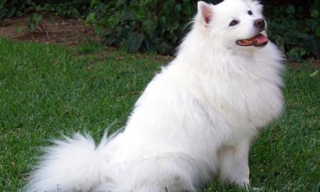 American Eskimo Dogs Picture