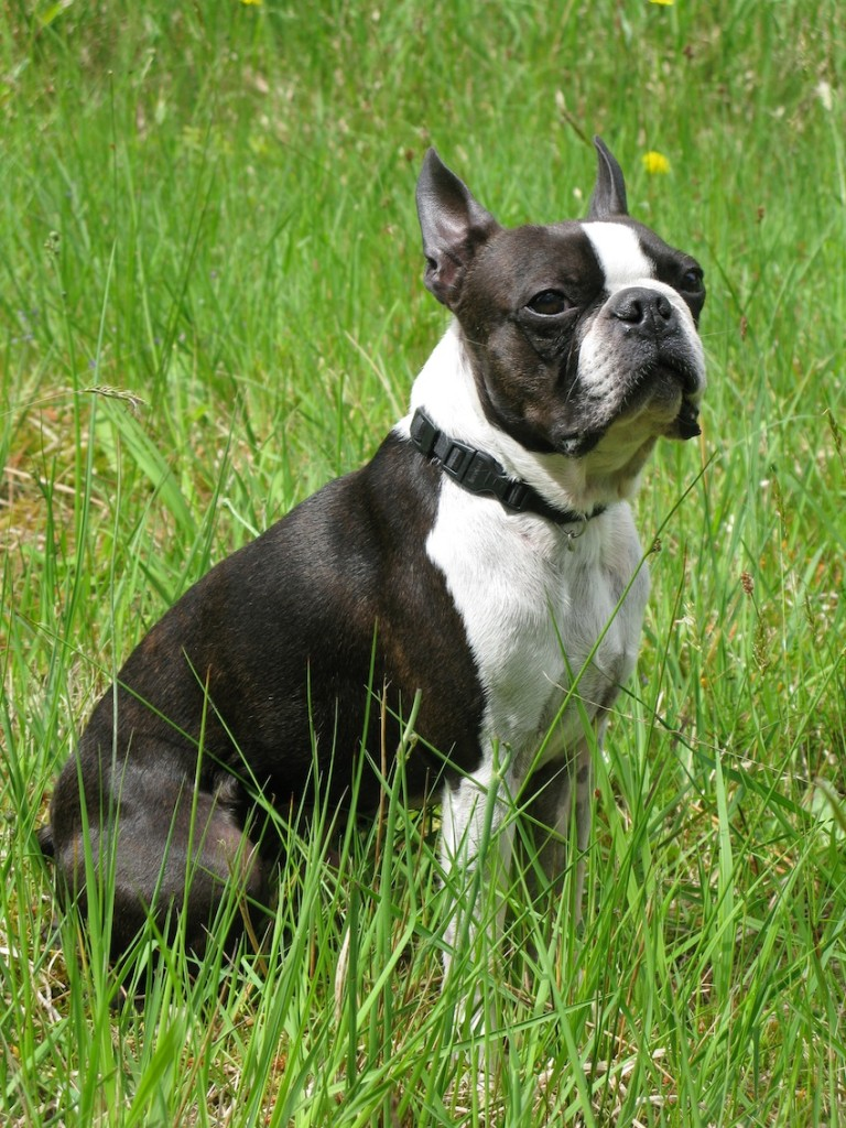 bull terrier dog breed information idw