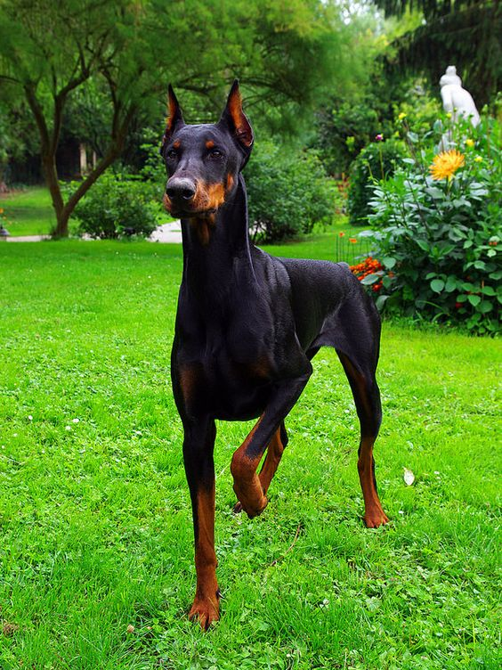 Doberman Pinscher Guardian Dog