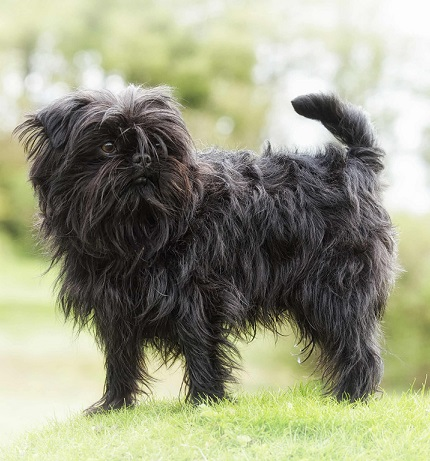 Monkey Dogs or Affenpinscher dog breed