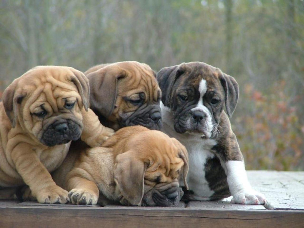 Beautiful-Bulldog-Puppies-Playing