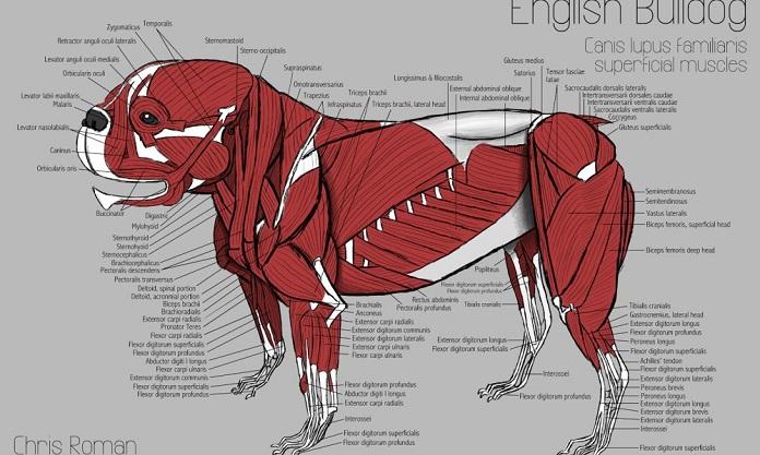 Bull Dog Anatomy