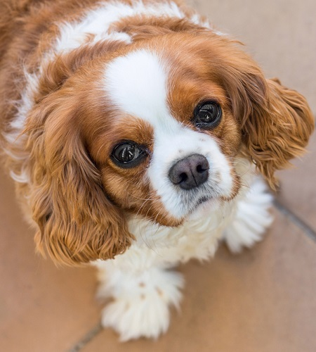 Companion Dogs Breed Group – Inside Dogs World