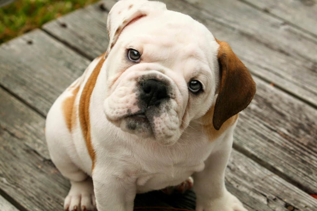 Must see Unknown Chubby Adorable Dog - Cute-English-Bulldog-Puppies-1-1024x683  Graphic_49737  .jpg