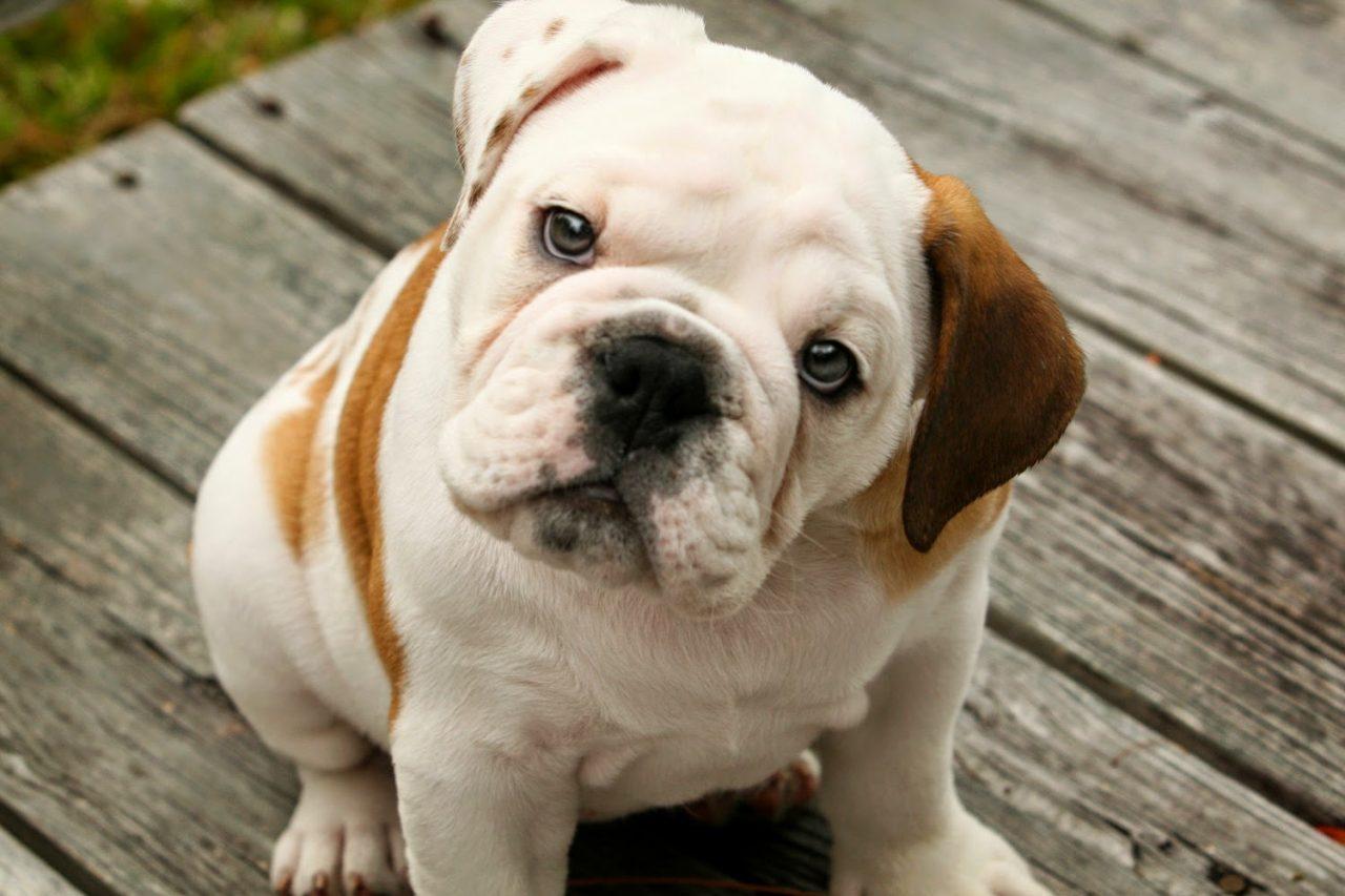 Cute-English-Bulldog-Puppies (1)