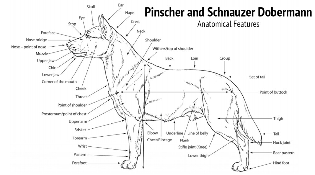 Siberian Husky Dog Breed Information Idw