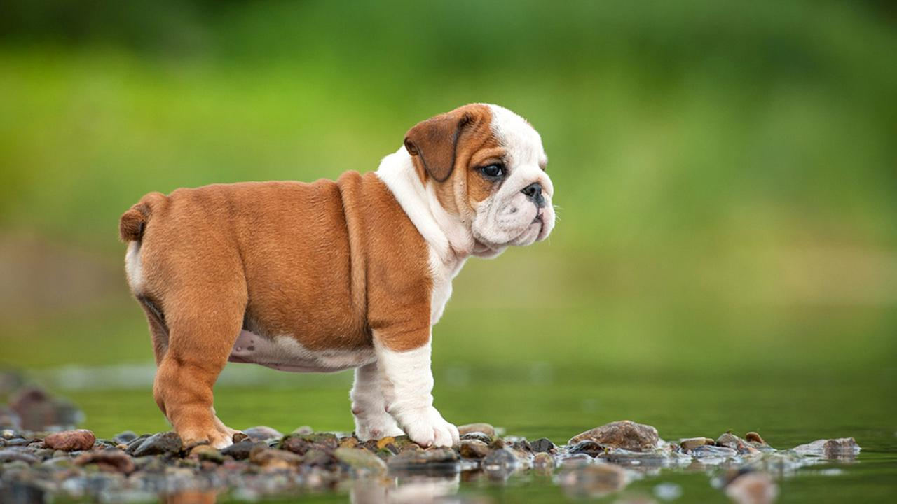 Fawn-And-White-Bulldog-Puppy-HD-Wallpaper