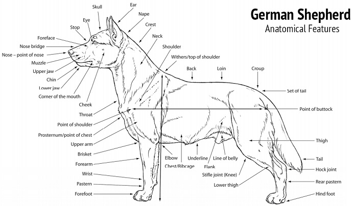 Anatomy and Physical Appearance of the German Shepherd
