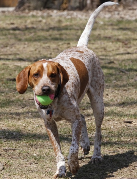 Hound Dogs Breed Group
