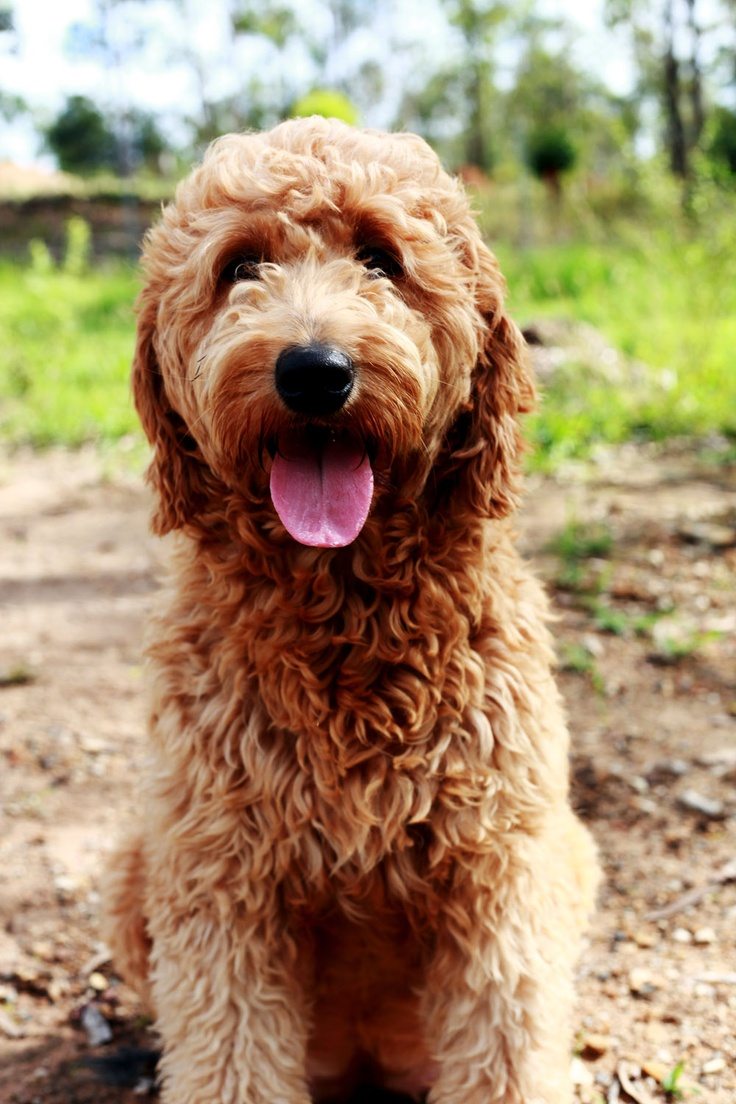 Hybrid Dogs Breed Group Inside Dogs World
