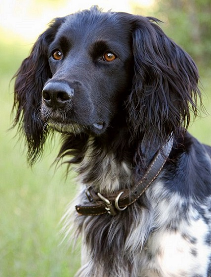 Sporting Dogs Breed Group