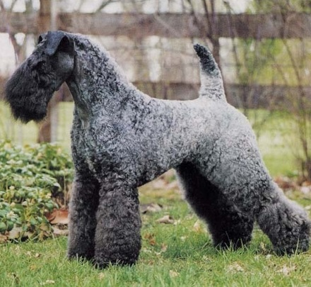 Terrier Dogs Breed Group