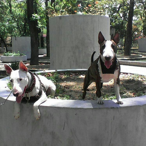 The Bull Terrier Dogs