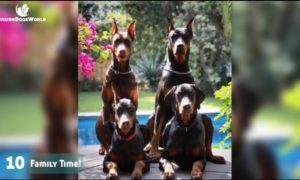 Top 10 Most liked Doberman Photos-Captions On Facebook