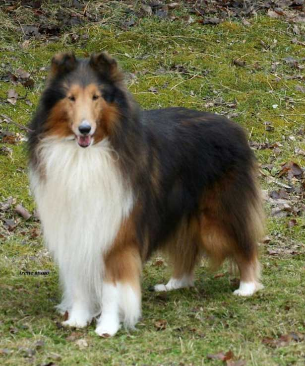 Top family dogs Collie