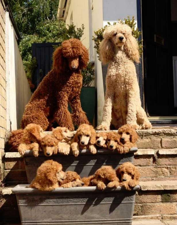 Top family dogs Poodler 08