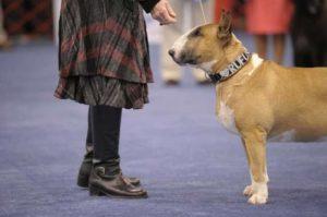 Top 5 Heroic Bull Terriers