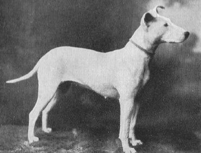 Bull Terrier Pegy Hero