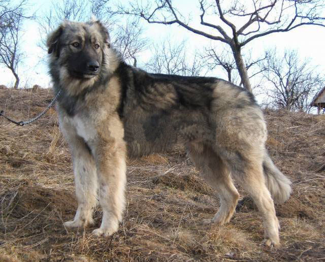 Carpathian Sheepdog (Rumanian Sheepdog) (Carpathian Shepherd Dog) (Romanian Shepherd Dog) (Carpatin)