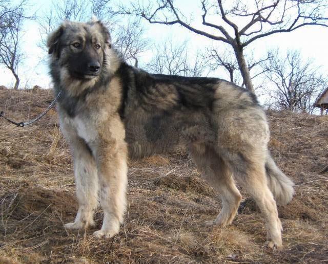 Carpathian Sheepdog (Rumanian Sheepdog) (Carpathian Shepherd Dog) (Romanian Shepherd Dog) (Carpatin)