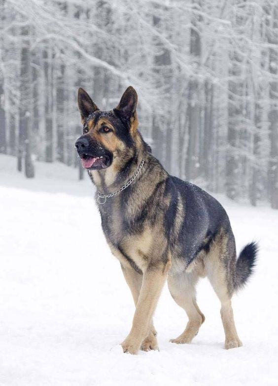 German Shepherds are strong, beautiful, intelligent and above all, extremely loyal!