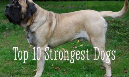 Heavy Shedding Dog Breeds List