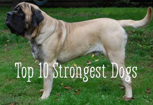 Most Strongest Dog Breed