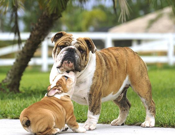 BulldogFathersDay