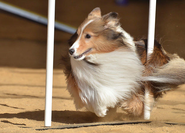 Agility makes dogs happy