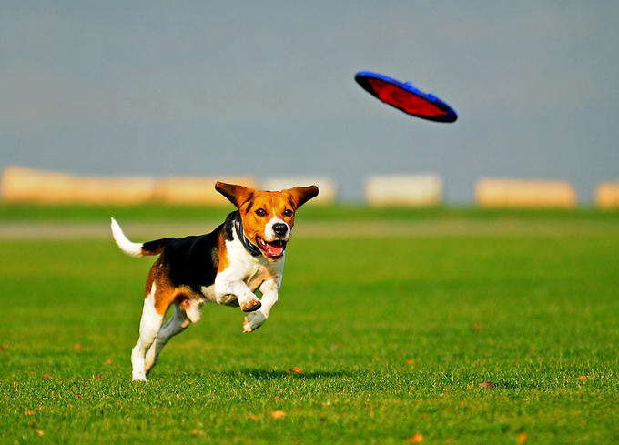 Dogs adore catching flying things like frisbees