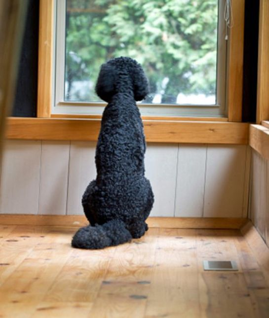 Try as much as you can to not let your dog home alone because he will become bored, stressed and depressed