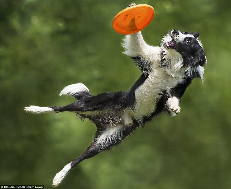 Frisbee dog game keeps them in a very good physical shape!