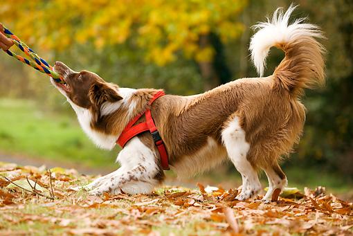 Tug of War creates stronger human-dog bonds