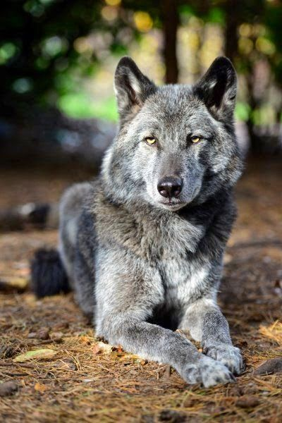 Wolf Hybrid, cross between grey wolfs and dogs
