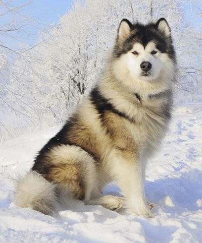 Alaskan Malamute big sometimes agressive dog