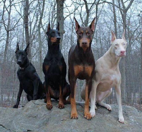 ►10 Razas de perros que pueden  ser peligrosas sin Educarlas