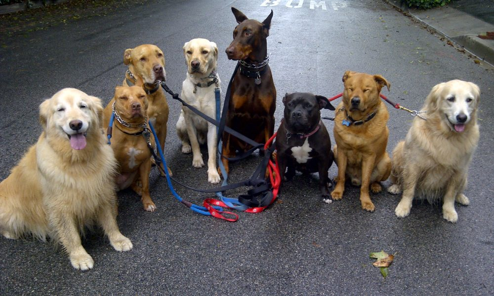 dog-pack