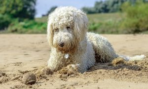 Golden Doodle Playing
