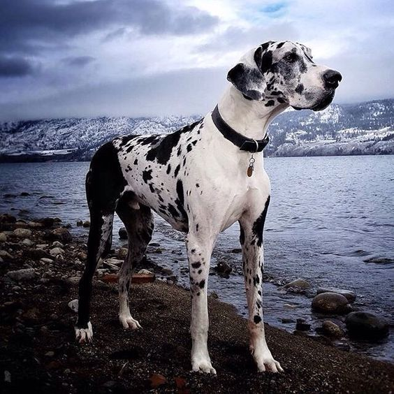 Great Dane dangerous dog