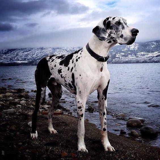 Great Dane dangerous dog