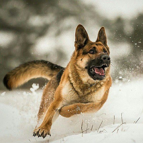German Shepherds, agressive nature.