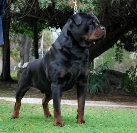 Rottweilers, dangerous dogs