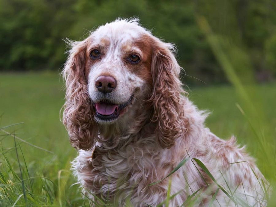 Cocker Spaniel one of the richest dog in the world