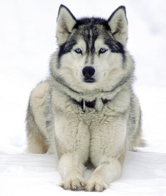 Siberian Husky, working dog