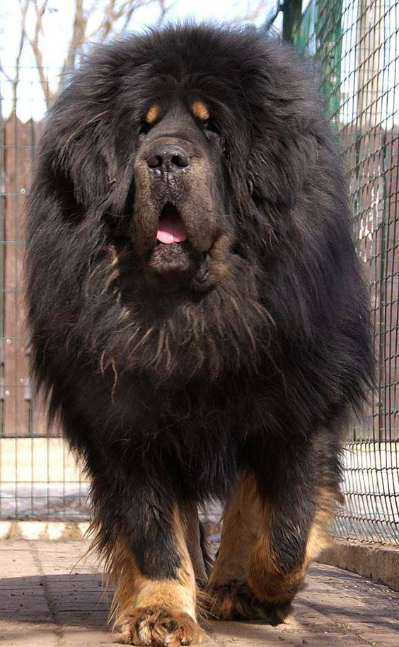 Top 10 Biggest Dog Breeds In The World Inside Dogs World