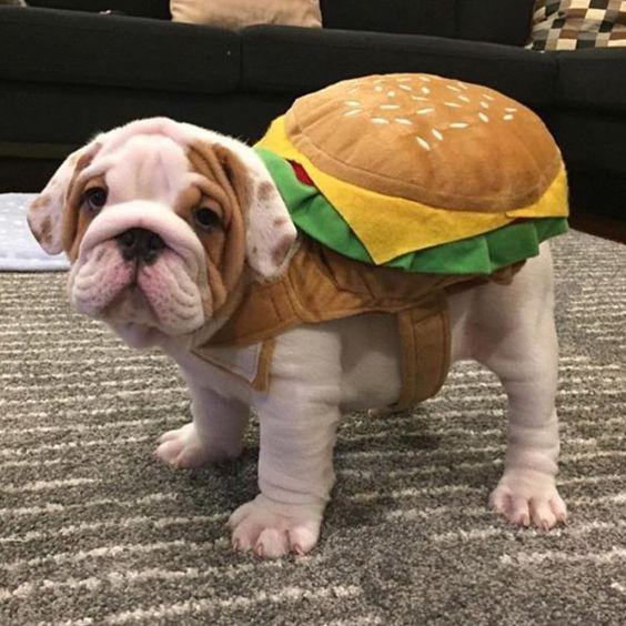 English bulldog for Halloween! Hamburger costume