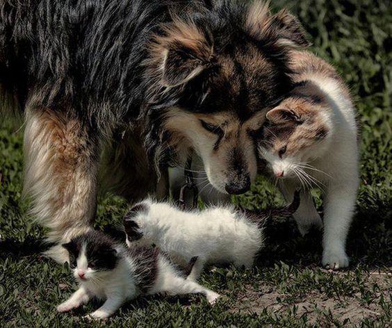 Malamute husky playing with cats