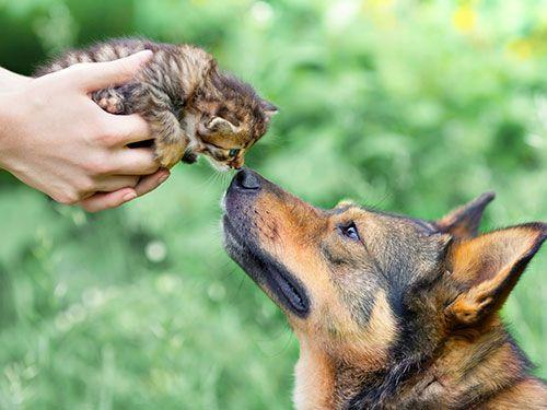 Little cat smelling a german shepherd dog