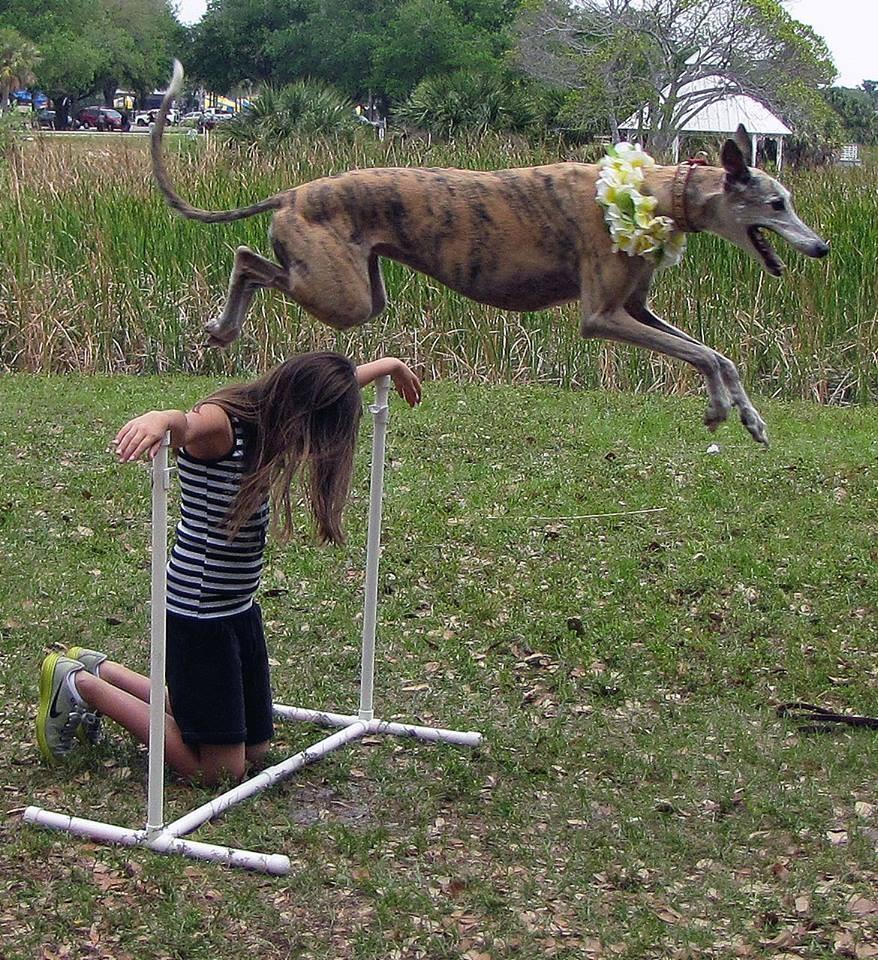 Cindy greyhound training