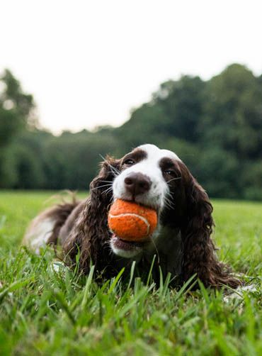 Dog chewing a ball at the park